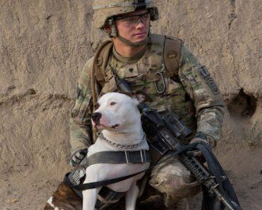 military pit bull