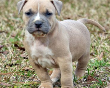 fawn pit bull puppy