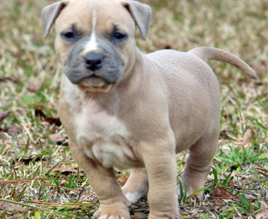 Fawn Pit Bull Pictures | Good Pit Bulls