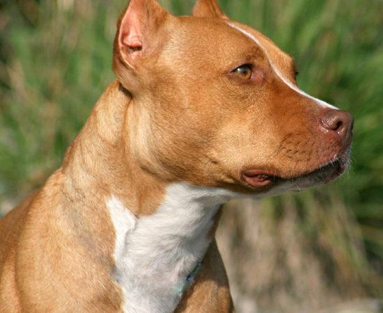 pit bull ears