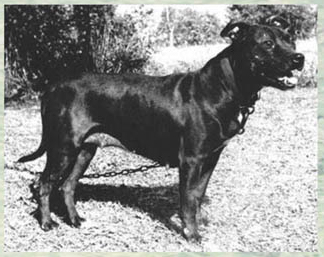 History of Mayfield Pit Bull Bloodline | Good Pit Bulls