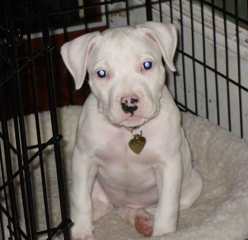 White Pit Bull Pictures Good Pit Bulls