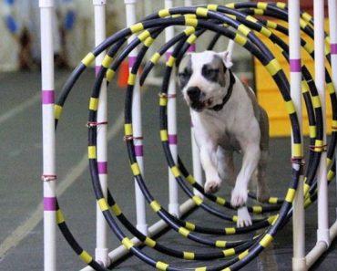 agility pit bull