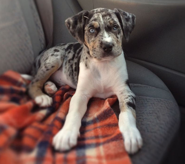 Pit Bull Catahoula Mix Good Pit Bulls