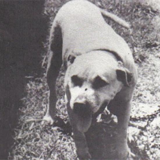 History of Eli Pit Bull Bloodline | Good Pit Bulls