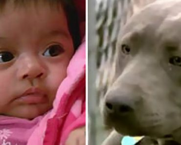 pit bull saves baby