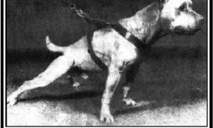 History of Hollingsworth Pit Bull Bloodline | Good Pit Bulls