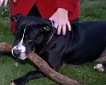 hero pit bull
