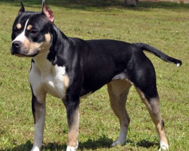 black and tan pitbull