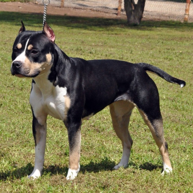 Black and Tan Pit Bull Pictures | Good Pit Bulls