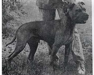 watchdog little thor pit bull
