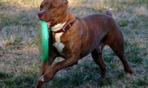 What is a Pit Bull Bloodline | Good Pit Bulls