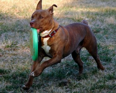 red brindle pit bull
