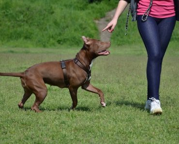 training pit bull