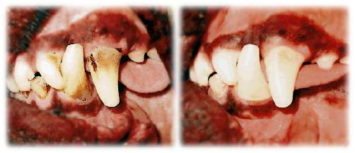brush dogs teeth