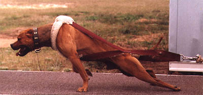 pit bull pull dog