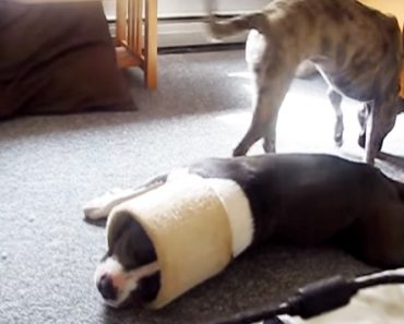 silly pitbull video