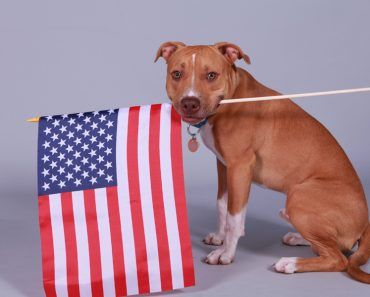 pitbull with american flag