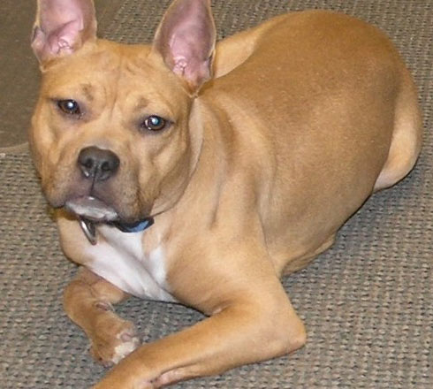 pit bull french bulldog