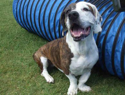 pit bull basset hound