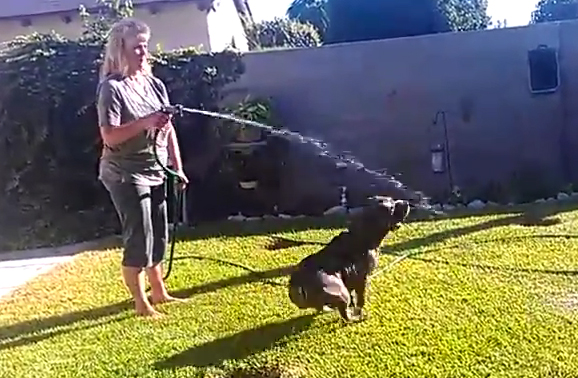 Pit Bull Plays with Water