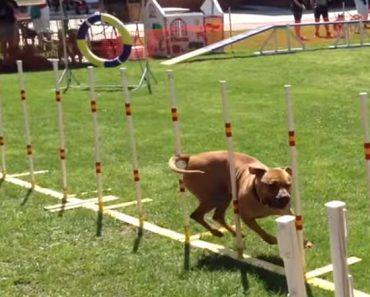 pitbull agility