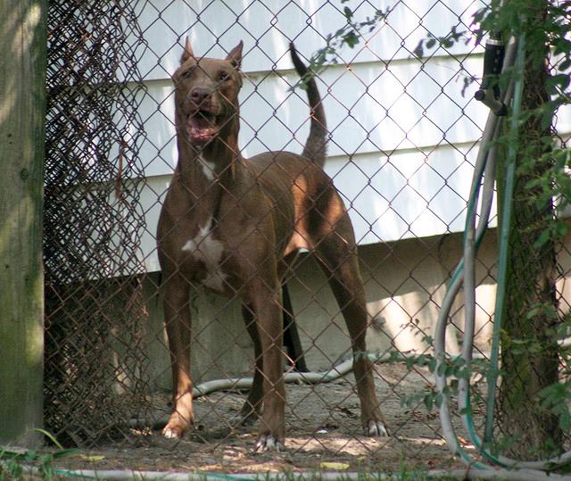 Pit Bull Doberman - Dober Pit | Good Pit Bulls