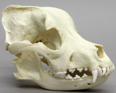 dog skull pit bull locking jaw