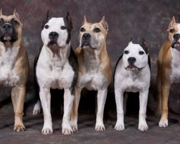 pit bull starffordshire terrier