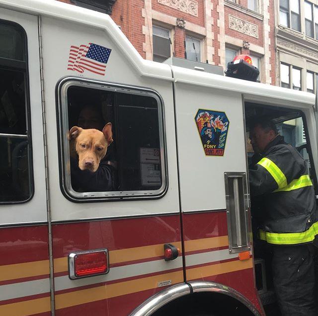 firehouse pit bull