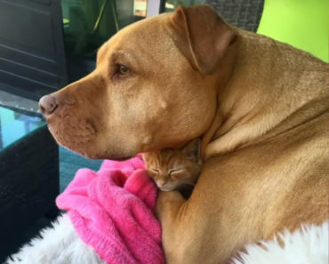 pit bull and rescued kitten